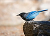 "Steller's Jay taking off ...<br /> Stellar's Jay, Colorado<br /> ""Cyanocitta stelleri"""