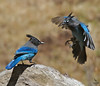 "Steller's Jays, fighting over food, Colorado<br /> ""Cyanocitta stelleri"""
