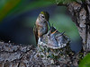 "We are talking about 2 inch wide nest ..........<br /> Broad-tailed Hummingbird in nest, Colorado<br /> ""Selasphorus platycercus"""