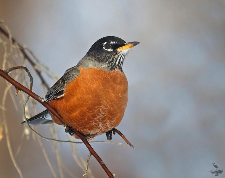 "American Robin in winter, Colorado<br /> ""Turdus migratorius"""