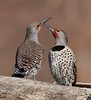 "Sword Fighting<br /> Northern Flickers<br /> ""Colaptes auratus"""