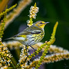 Cape May Warbler / female