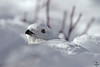 "White-tailed Ptarmigan, burrowed in snow<br /> ""Lagopus leucurus"""