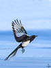 Black-billed Magpie / Pica hudsonia
