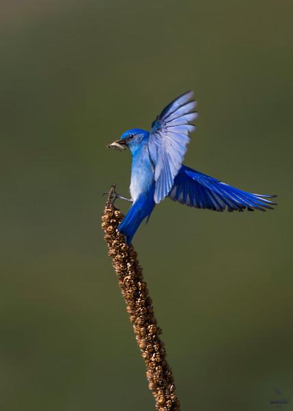 Mountain Bluebird / Scalia currucoides