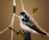 "tree swallow / male, Colorado<br /> ""Tachycineta bicolor"""