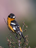 Black-headed Grosbeak? Pheucticus melanocephalus