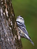 "Black-and-white warbler, female<br /> ""Mniotilta varia"""