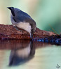 "Pygmy Nuthatch, sipping at water's edge, Colorado<br /> ""Sitta pygmaea"""
