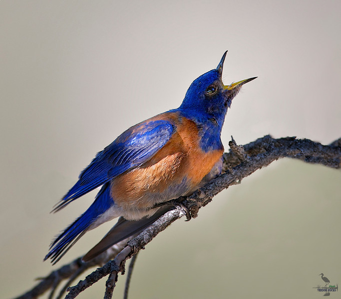 "Western Blue Bird / male, Colorado<br /> ""Sialia mexicana"""