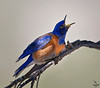 "Western Blue Bird / male, Colorado<br /> ""Sialia mexicana"""