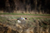 Ring-necked Pheasant / Phasianus Colchicus