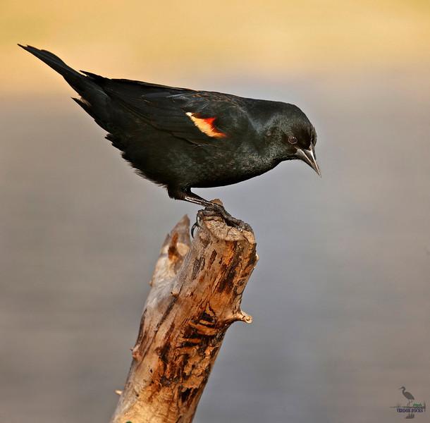 """Red-winged Blackbird, Colorado<br /> """"Agealius phoeniceus"""""""