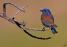 "Western Bluebird / male; Colorado<br /> ""Sialia mexicana"""