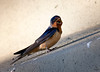 "Barn Swallow / male, Colorado<br /> ""Hirundo rustica"""