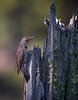 Northern Flicker / Colaptes auratus