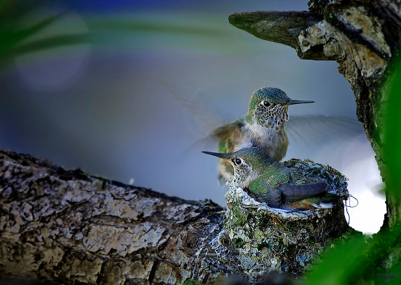 "Look Matilda, I Believe I can Fly ........<br /> Broad-tailed Hummingbird in nest, Colorado<br /> ""Selasphorus platycercus"""