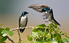 "Tree Swallows on a branch, Colorado<br /> ""Tachycineta bicolor"""