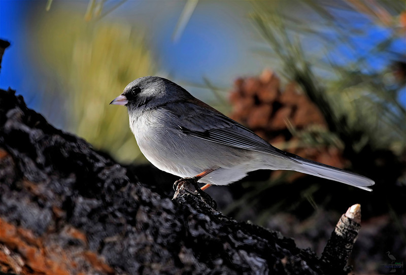 "Dark-eyed Junco, Colorado<br /> ""Junco hyemalis"""
