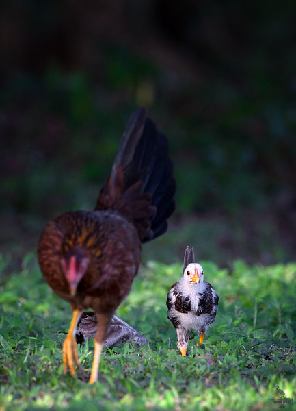 Red Junglefowl / mom with a chick