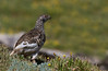"White-tailed Ptarmigan, Colorado<br /> ""Lagopus leucurus"""