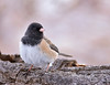 "Dark-eyed junco, Colorado<br /> ""Hyemalis caniceps"""