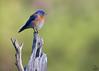 "Western Bluebird, Colorado<br /> ""Sialia mexicana"""
