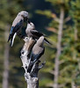 "Clark's Nutcracker, mom and 2 babies, Colorado<br /> ""Nucifraga columbiana"""