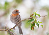 House Finch / Carpodacus mexicanus