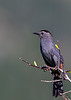 Gray catbird / Dumetella carolinensis