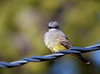 """Brown-crested Flycatcher, New Mexico<br /> """"Myiarchus tyrannulus"""""""
