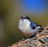 "So What, I Got A Little Bit Fat !?! <br /> Pygmy Nuthatch, Colorado<br /> ""Sitta pygmaea"""