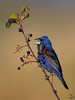 Blue Grosbeak and berries