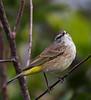 """Palm Warbler<br /> """"Dendroica palmarum"""""""