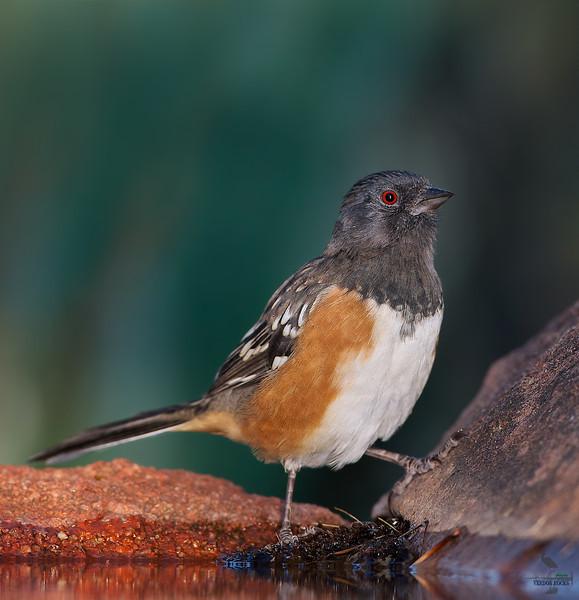 "Spotted Towhee, Colorado<br /> ""Pipilo maculatus"""