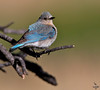 "Mountain Bluebird, female; Colorado<br /> ""Sialia currocoides"""