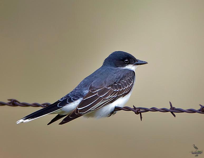 """Eastern Kingbird, Colorado<br />  """"Tyrannus tyrannus"""""""