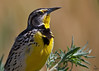 "Western Meadowlark portrait, Colorado  ""Sturnella neglecta"""