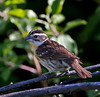 "Black-headed Grosbeak, female; Colorado<br /> ""Pheucticus melanocephalus"""