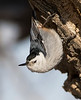 White-breasted Nuthatch / Sitta Carolinensis