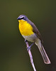 "Yellow-breasted Chat / male, Colorado<br /> ""Icteria virens"""