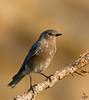 """Western Bluebird, juvenile, Colorado<br /> """"Sialia mexicana"""""""