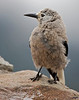 "Wet Cracker <br /> Clark's Nutcracker, Colorado<br /> ""Nucifraga columbiana"""
