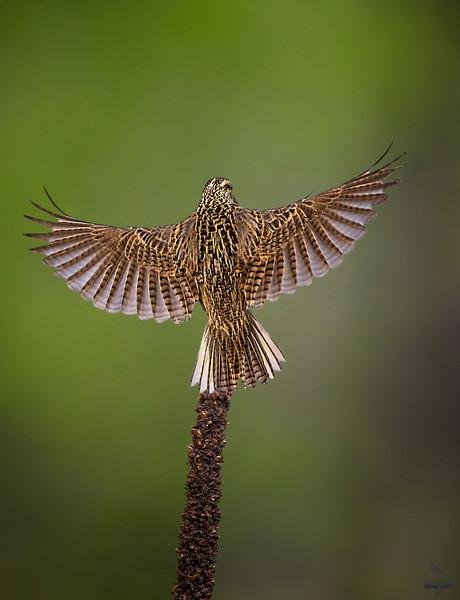 Western Meadowlark lending pose