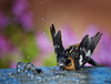 "...  hot morning bath!<br /> Black-headed Grosbeak, New Mexico<br /> ""Pheucticus melanocephalus"""