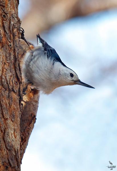 "White-brested Nuthatch, Colorado <br /> ""Sitta carolinensis"""