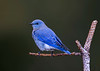 Mountain Bluebird / Sialia currucoides
