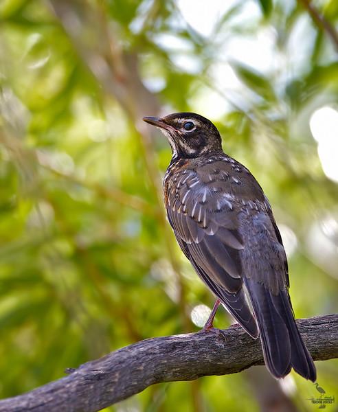 "American Robin / juvenile, Colorado<br /> ""Turdus migratorius"""