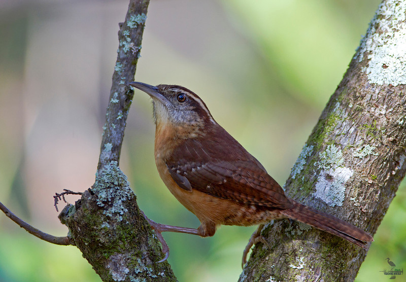 "Carolina Wren, perched, Florida<br /> ""Thyrothorus ludovicianus"""