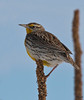 "Western Meadowlark in winter, Colorado<br /> ""Sturnella neglecta"""